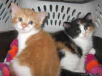 These two female American Shorthair kittens are 8 weeks