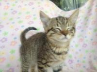 American Shorthair - Goldie - Medium - Young - Female -