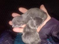 American Shorthair - Kittens - Small - Baby - Male -