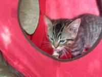 American Shorthair - Mini - Medium - Young - Female -