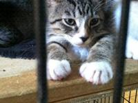 American Shorthair - Pansy - Small - Baby - Female -
