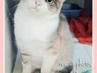 American Shorthair - Sage - Medium - Young - Female -