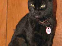 American Shorthair - Star - Small - Senior - Female -