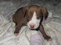 American Staffordshire Terrier - Ava - Medium - Baby -