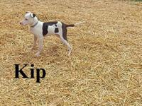American Staffordshire Terrier - Kip - Medium - Young -