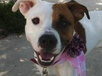 American Staffordshire Terrier - Reeva - Medium - Young