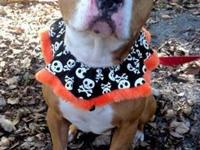 American Staffordshire Terrier - Rocky - Large - Young