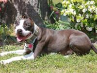 American Staffordshire Terrier - Salem - Medium - Young