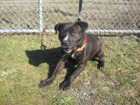 American Staffordshire Terrier - Willy - Medium - Adult