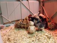 Baby Americana Chickens for sale. Also known as Easter
