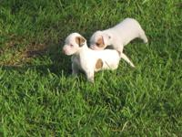 5 American Bulldog Puppies looking for a GOOD HOME. 3