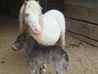 LNL MiniFarm miniature has new foals on the ground,