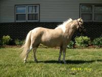 "Annie is a very sweet gentle mare. She is 36"" she is"