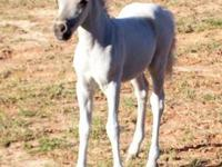 I have several miniature horse foals...show quality
