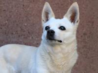 Amie, an American Eskimo/Chihuahua for Adoption   Are