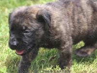 We have an AKC brindle male English Mastiff puppy, born