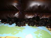 I proudly welcomed 10 Doberman Pinscher puppies into
