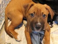 Amore is a Boxer mix puppy with a playful, sweet