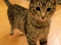 Amos is a 4-5 month old very sweet tabby male, he was a