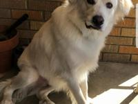 Amos is a great guy!!  Part Pyrenees/Lab -