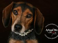 Meet Amy! Amy is a 4 year old 20 lb beagle who is a