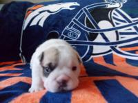 Amy is a white English Bulldog puppy with one dark eye.