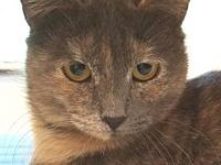 Amy's story Amy is a one year old grey torti who was