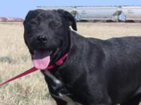 AMY is a young female Lab mix. We think she is between