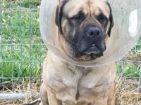 Ana is a purebred,5yr old, English Mastiff with heart