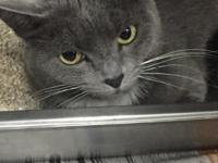 Meet Anastasia, a lovely gray kitty who'd like to find