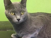 My story Anastasia is a gorgeous Russian Blue mix young