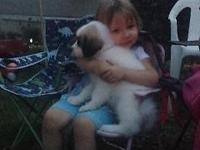 We have Anatolian/Great Pyrenees livestock puppies