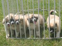 Livestock guard puppies. 3 males, 2 females. First