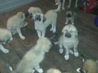 Have 3 1/2 month's old pups. Very good happy, and