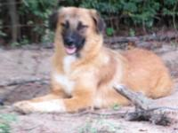 Anatolian Shepherd- great Pyr, young females working