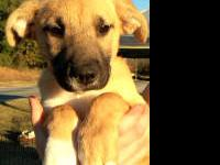 Anatolian Shepherd - Blitzen - Small - Baby - Female -