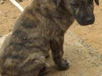 Anatolian Shepherd young puppies- 3 females fawn & &