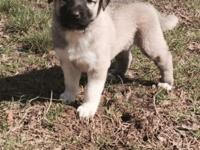 GET READY FOR SPRING start your young Anatolian puppy