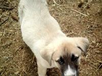 Purebred Anatolian Shepherd. Both parents are great