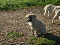 Available immediately. Male Anatolian Shepherd puppies.