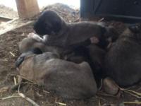 Beautiful Anatolian Kangal livestock guardian puppies