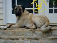 Sire is an International Champion all of our dogs are