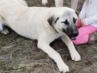 Gorgeous pure Anatolian Shepherd puppies due in June!!