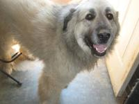 Anatolian Shepherd - Sadie - Medium - Adult - Female -