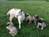 purebred anatolian puppies - parents onsite - raised