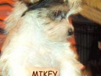 "Anderson's Biewer Yorkshire Terrier"" Jewel"" has"