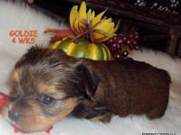 """ Goldie"" is our Golden Yorkie (Patsy's) Baby... And"