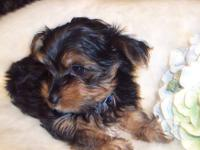 Anderson's Yorkies brings you our first litter of Parti