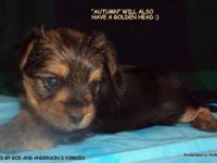 Anderson's Yorkie's little female Crystal Belle with