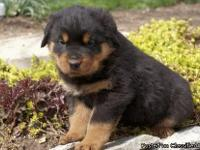 Andrews Rottweiler Puppies For Sale.Our little Jihiro